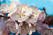 Pink flower an apricot