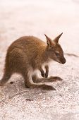 picture of wallabies  - Bennett
