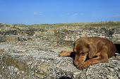 Lonely, Tired, Brown Dog Sleeping On Stones