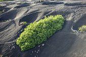 A Vineyard In Lanzarote Island, Growing On Volcanic Soil