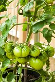 Green Unripe Tomatoes