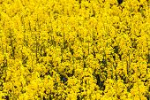 Pattern Of Yellow Rape Field