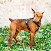 Brown Dog Miniature Pinscher Head