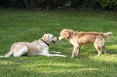 Dogs playing in backyard