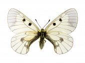 Clouded Apollo Butterfly
