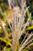 Dry Ornamental Grass