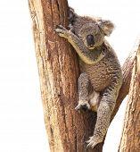 Cute Koala isolated on white background