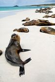 stock photo of sunbather  - Beautiful peaceful sea lions sunbathing in a beach at the Galapagos Islands - JPG