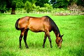 stock photo of horses eating  - A horse is eating grass in green field - JPG