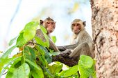 stock photo of macaque  - Monkeys (Crab-eating macaque) on tree in Thailand