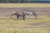 stock photo of grassland  - two zebras in the grasslands - JPG