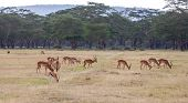 stock photo of antelope horn  - antelopes on a background of green grass [[** Note: Shallow depth of field ** Note: Visible grain at 100%, best at smaller sizes - JPG