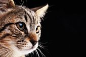 stock photo of strip  - Portrait of stripped kitten on black background - JPG