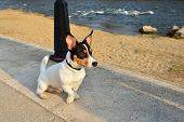 foto of toy dogs  - Toy fox terrier dog sitting on the promenade near the river at sunset - JPG