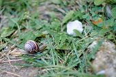 image of garden snail  - snail in the garden on the grass