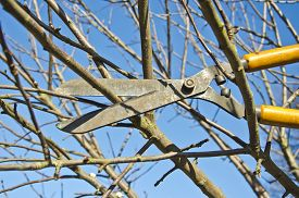 picture of cutting trees  - cut trim prune fruit tree branch with wintage clippers scissor in spring garden - JPG