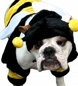 Bumble-Bee-Bulldog