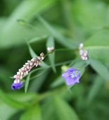 picture of wildflower  - Delicate blue & pink wildflowers on green backdrop in a wildflower garden. ** Note: Visible grain at 100%, best at smaller sizes - JPG