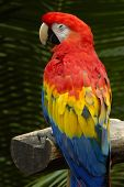 Solitary Macaw