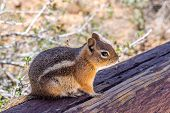 image of chipmunks  - Chipmunk in the Bryce Canyon  - JPG