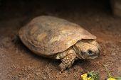 pic of tortoise  - Pancake tortoise  - JPG
