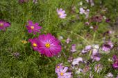 picture of cosmos flowers  - Cosmos flower in the garden - JPG