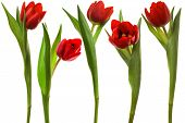 Beautiful and red tulip on a white background