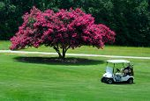 image of crepe myrtle  - golf cart in front of a crepe myrtle - JPG