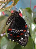 Australiano macho Huerta Papilionidae recién eclosionado