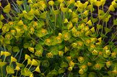 unusual green and yellow flowered plant related to petty spurge
