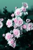 the chrysanthemum    of the garden.