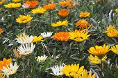 image of feverfew  - the daisy in the garden - JPG