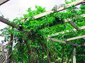 picture of grape-vine  - grape vines growing in the spring along an aided path - JPG