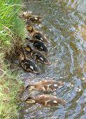 Ducklings In Feeding Frenzy