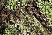 _  Decaying Plum Tree Stump