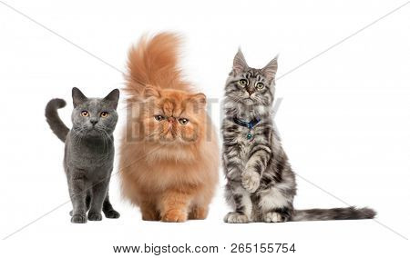 Group of cat Maine Coon