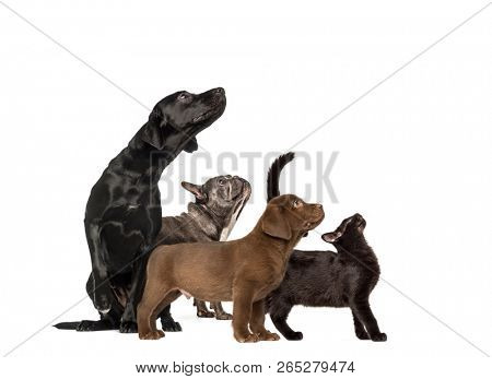 poster of Groups of dogs, Labrador Retriever Puppy, Labrador Retriever, Mixed-breed black cat, French bulldog,