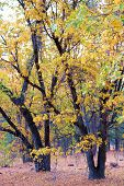 Oak Trees Changing Colors During Autumn Taken At A Grassy Plain And Oak Woodland In The Rural San Be poster