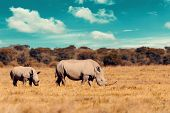 Rhino Family, Mother With Baby Of White Rhinoceros Khama Rhino Sanctuary Reservation, Botswana Safar poster
