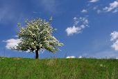 Blühenden Baum.