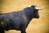 Fighting bull picture from Spain. Corrida de Toros
