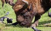 Bison grazing with a group of Jackdaws