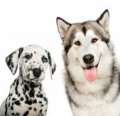 Dalmatian puppy, Alaskan Malamute, in front of white background poster