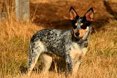 pic of blue heeler  - 5 month old Blue Heeler Pup in the field - JPG