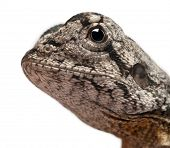 Close-up of Frill-necked lizard also known as the frilled lizard, Chlamydosaurus kingii, in front of