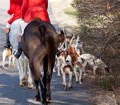 picture of foxhound  - Dogs of the Middleburg Hunt after traditional December parade down main street of Middleburg Virginia snapping at the legs of a horse