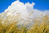 Yellow Wheat In Summertime Against A Blue Sky