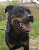 Portrait Of A Purebred Rottweiler