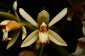 Yellow Wild Orchid,dark Background. Five Petals Of Yellow Petals.the Pistils Are White And Maroon An poster