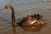 Black swan (Cygnus atratus) in a lake